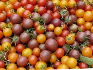 Variété de tomates cerises de la productrice Cécile Anciant-Grigoryev, Piegros la Clastte, France ©Marcelline Bonneau